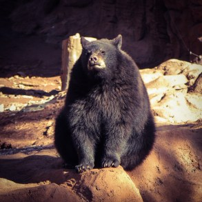 Black Bear Cub at Bearizona, Williams, AZ