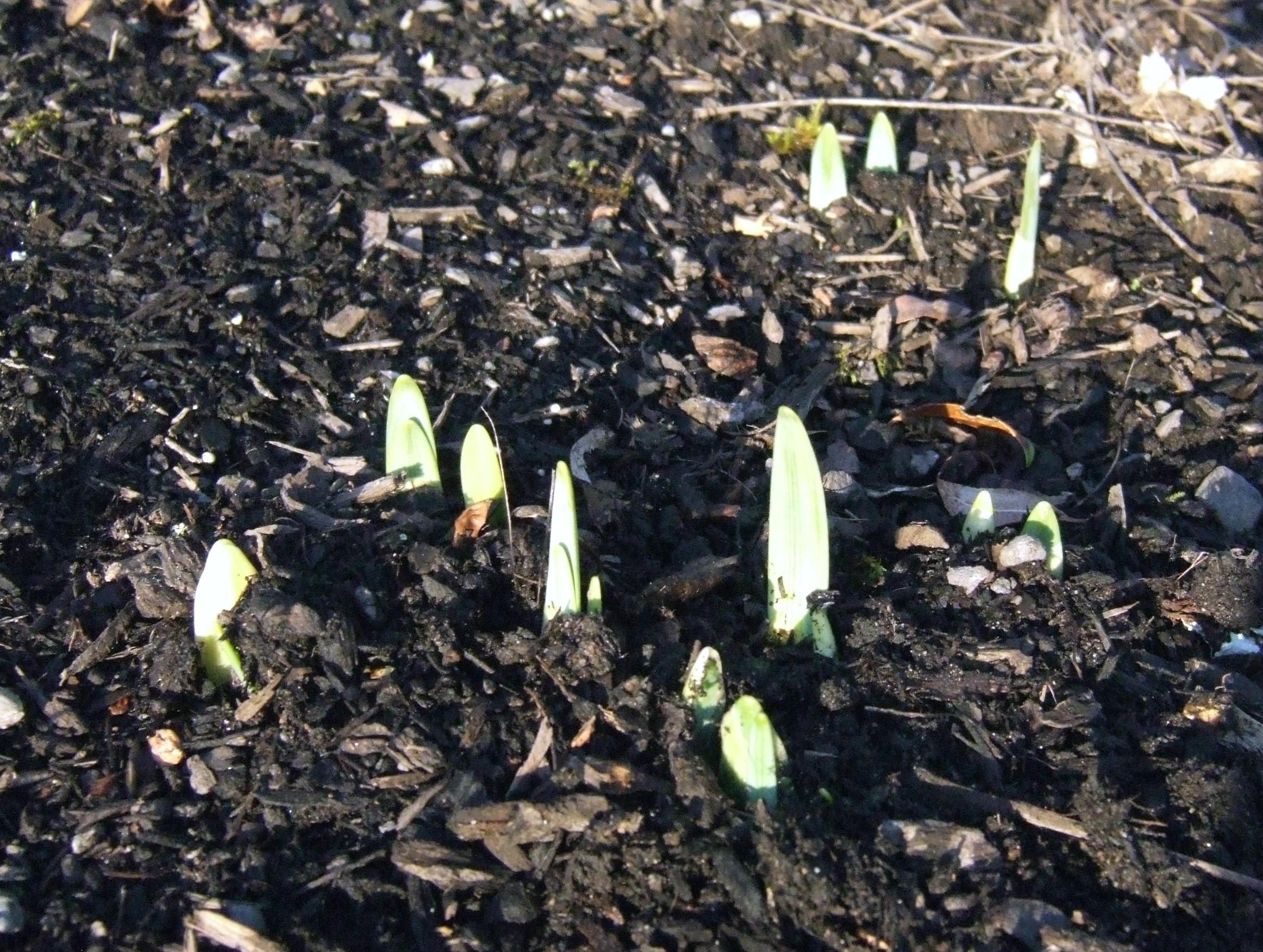 daffodils poking up