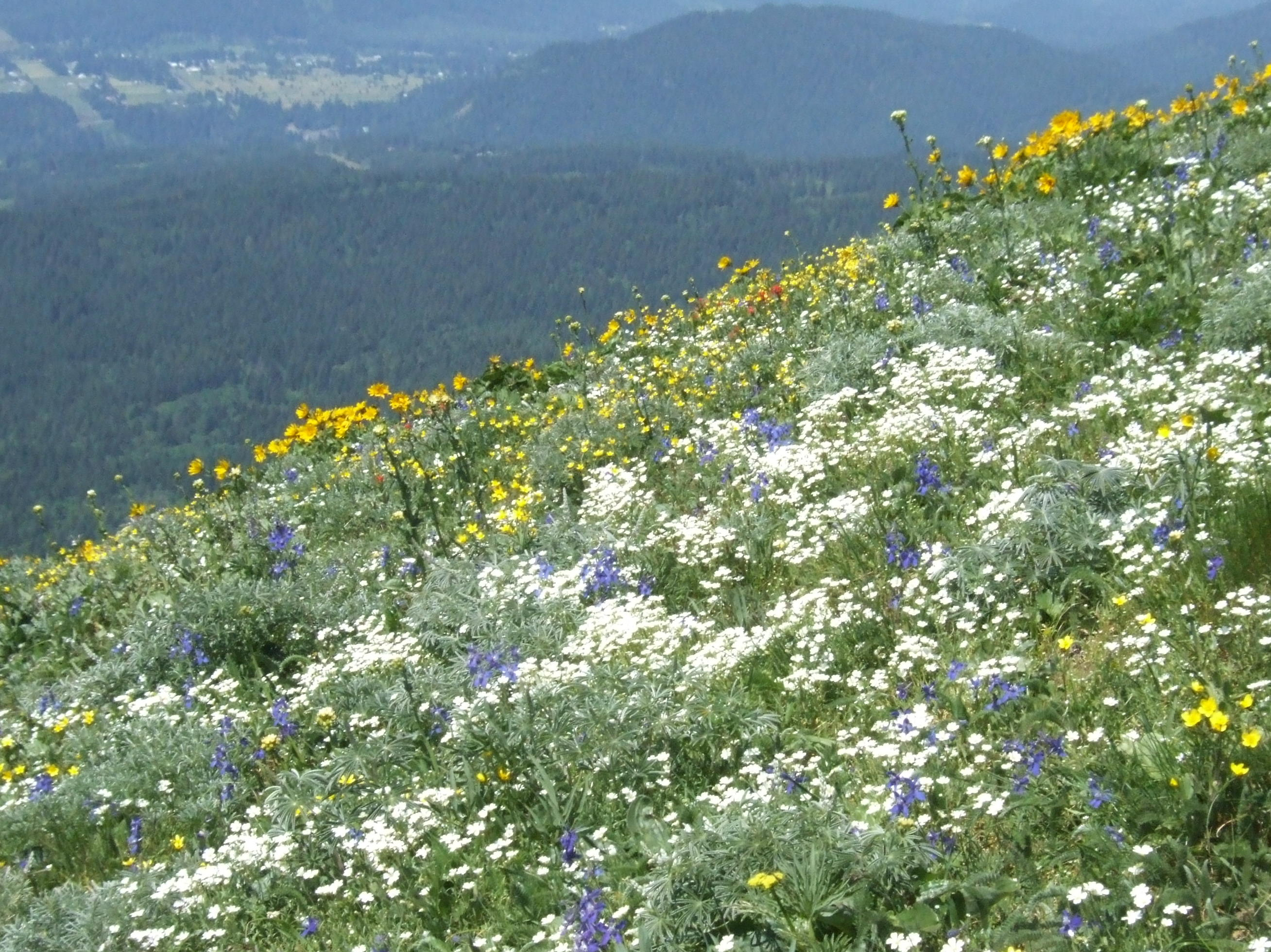 Balsam root, lupine, indian paintbrush, snow-in-summer, buttercup