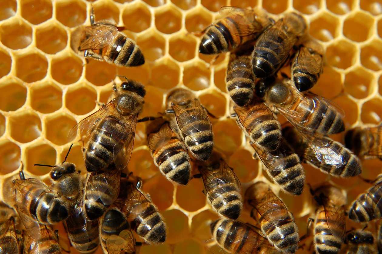 Por qué desaparecen las abejas