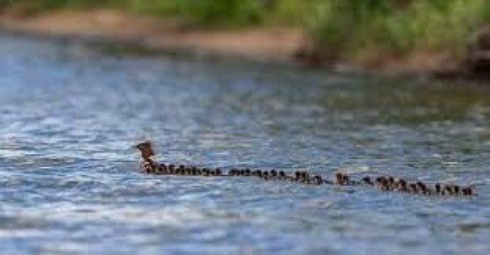 Los patitos en fila, sincronización del nado