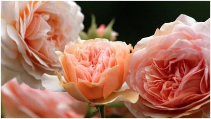 Rosen (3) in Planten un Blomen | 365tageasatzaday
