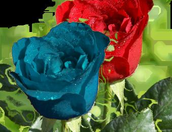 rosa rossa e rosa blu