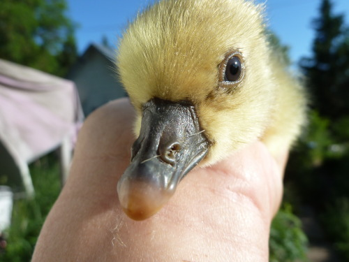 Gosling #11 just hatched!