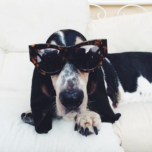 doggie in sunglasses