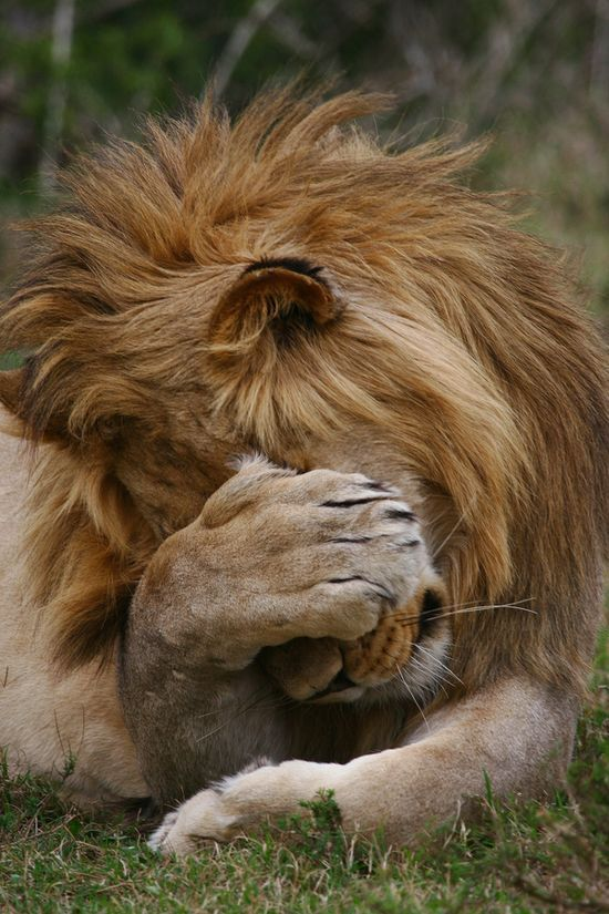 itinsightus: turquoblue:  lionnudes:  aw  cute