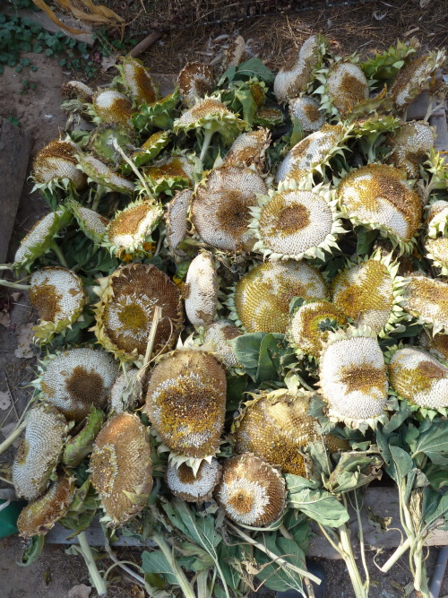 mammoth grey stripe sunflower heads, laid out to dry in the hoophouse before the chickadees get them all