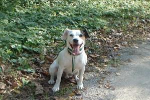 Jack Russel Dog with Gentle Leader leash