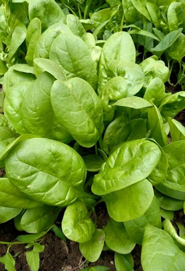 Fresh Garden Spinach