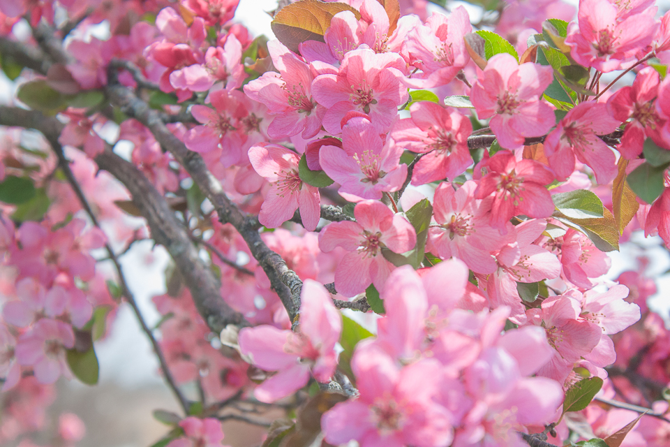 Blooming redbud tree
