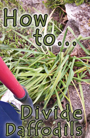 How to Divide Daffodils