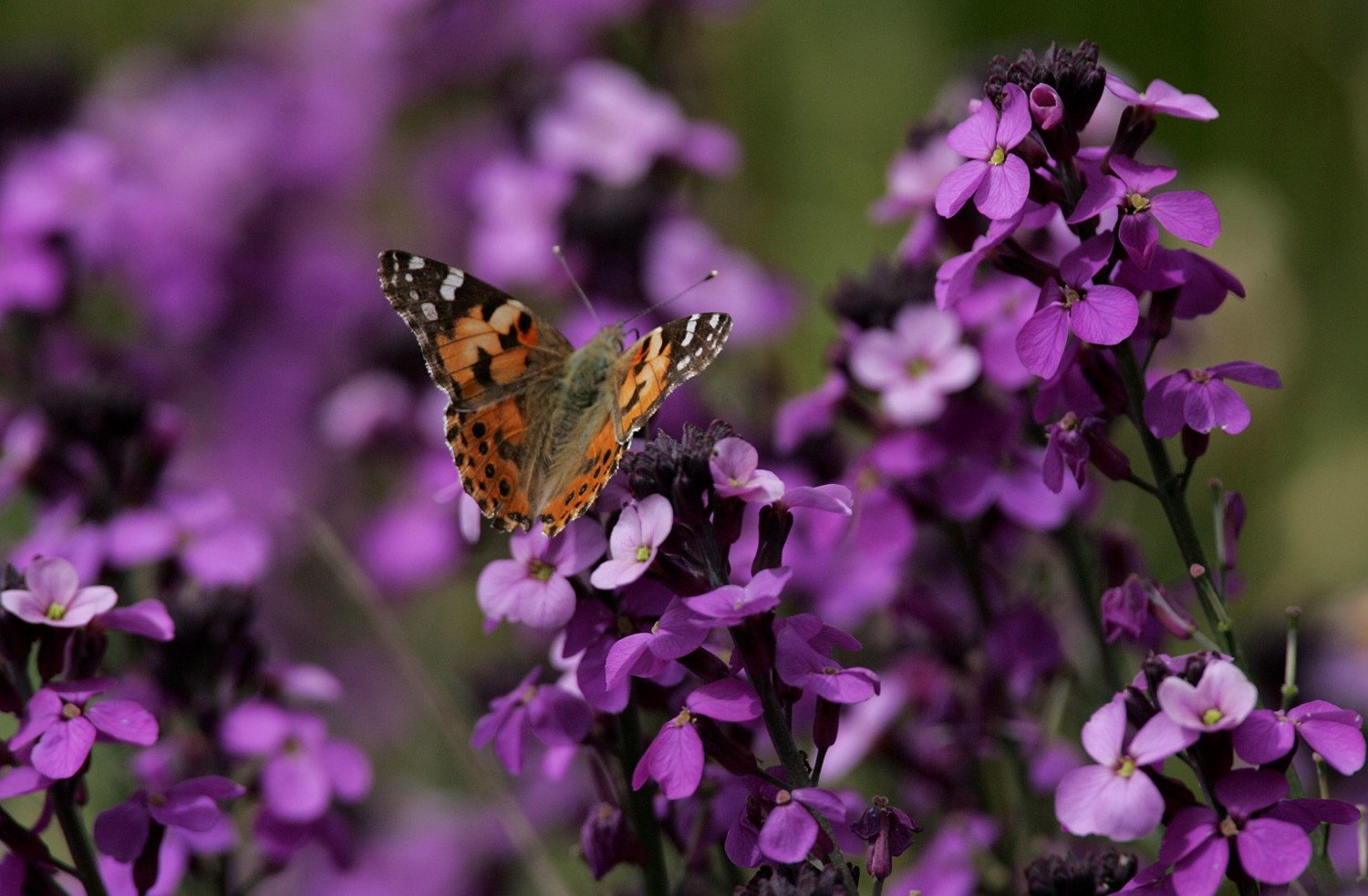 Painted Lady Butterfly Numbers Higher Than Usual
