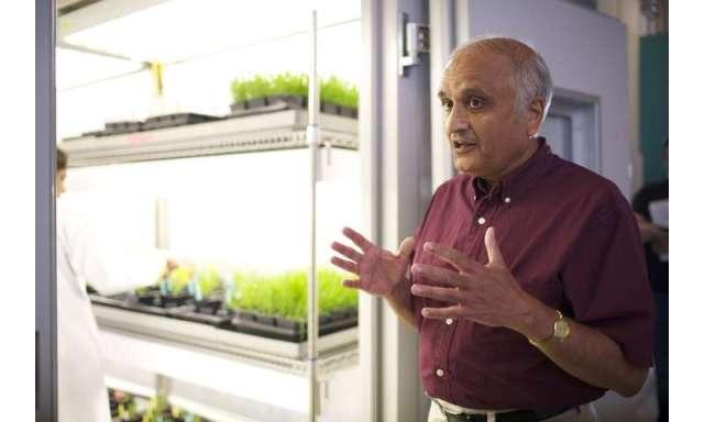 Los científicos desarrollan maní resistente a la aflatoxina
