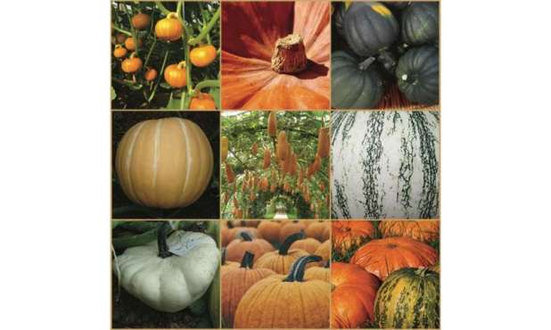 Pumpkin genomes sequenced, revealing uncommon evolutionary history