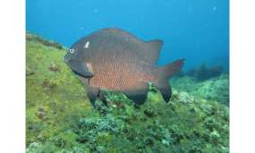 Farming fish alter 'cropping' strategies under high CO2