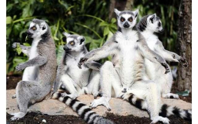 95% of lemur population facing extinction: conservationists