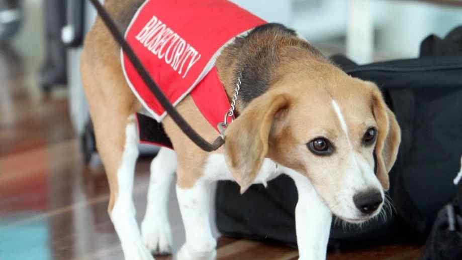 Biosecurity pies węszący Australia