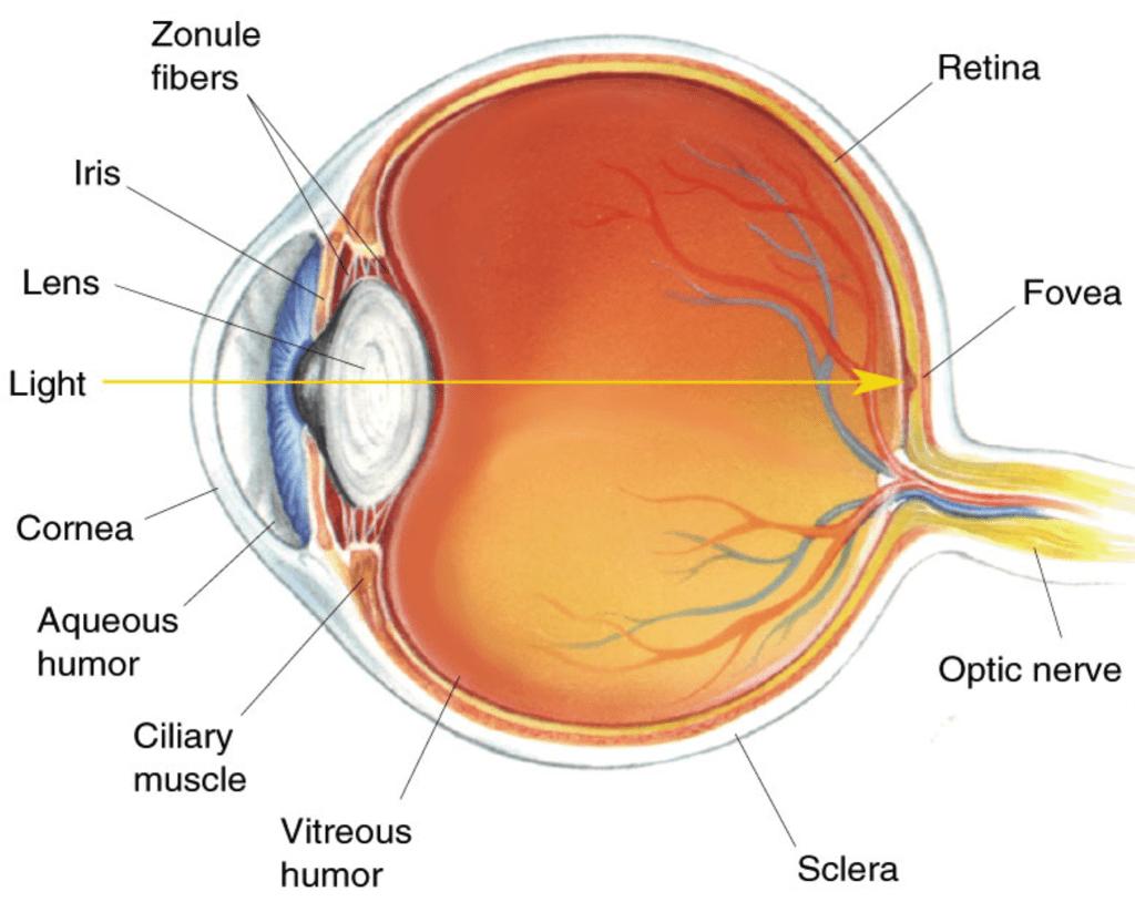 3d Printed Eagle Eye From University Of Stuttgart Gives