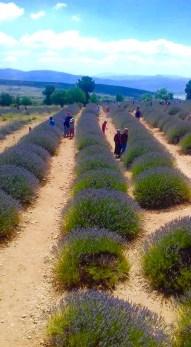 we love mahmutlar lavender field trip13