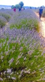 we love mahmutlar lavender field trip2