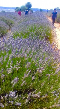 we love mahmutlar lavender field trip2