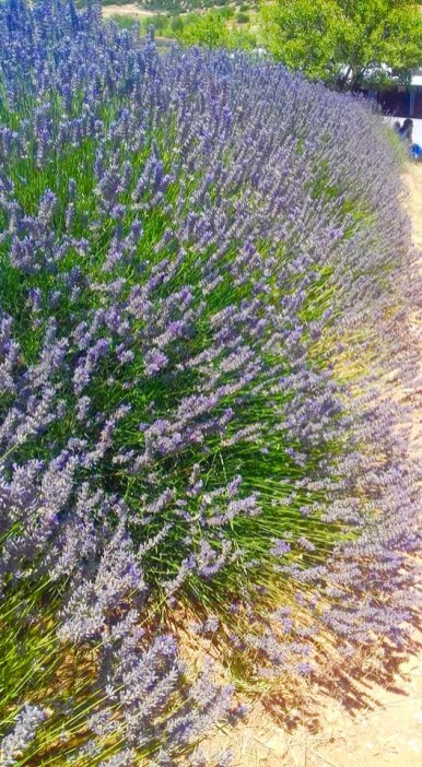 we love mahmutlar lavender field trip9