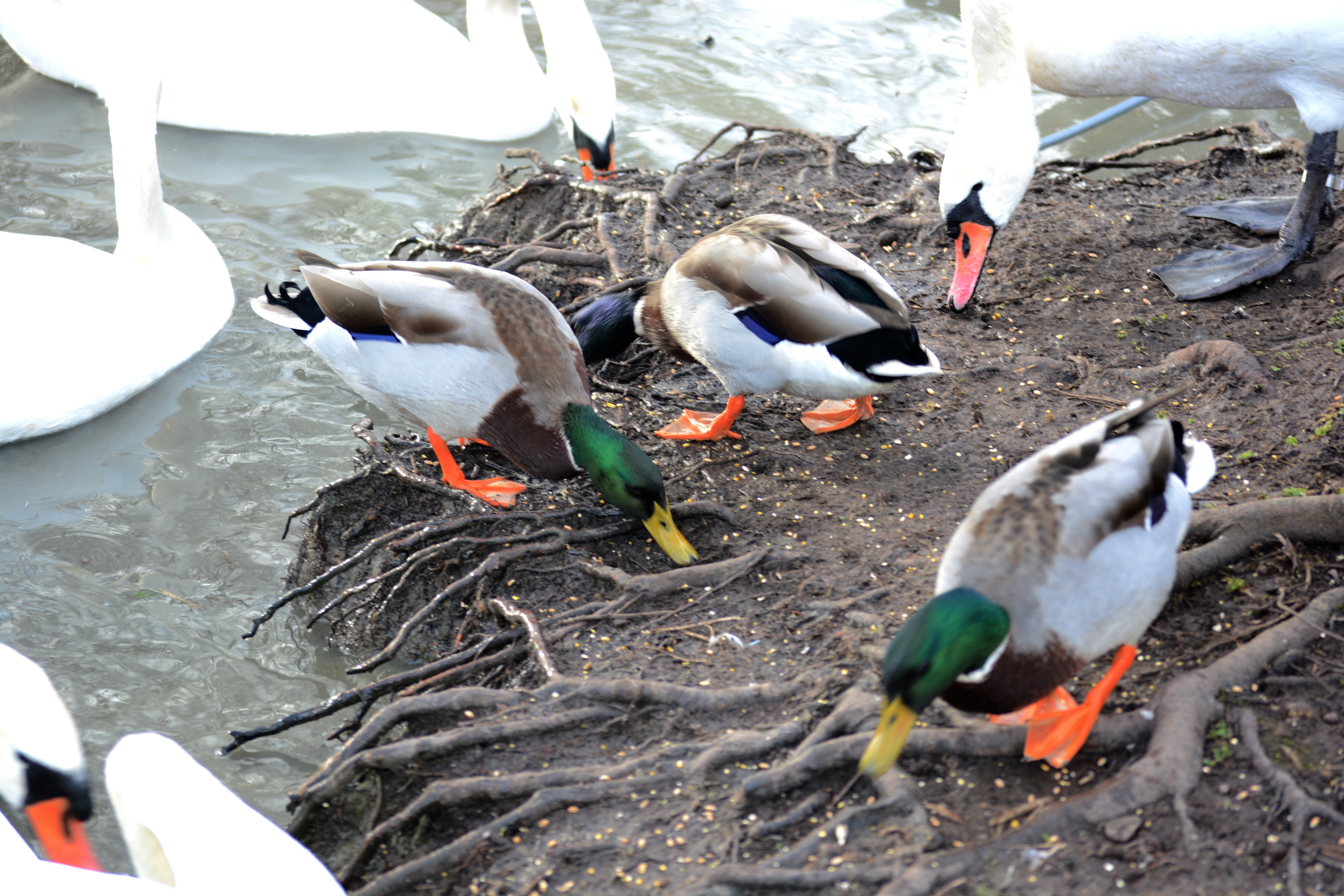 SWANS AND WILDFOWL AT COSMESTON LAKES, 3 EYED RAVEN ULTIMATE GUIDE TO BARRY
