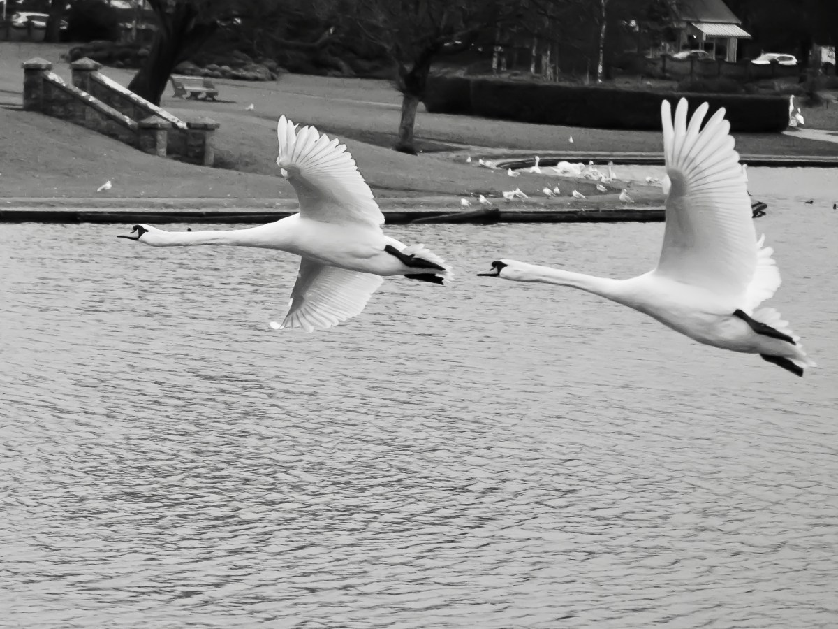 BLACK AND WHITE PRINTS OF COLD KNAP SWANS BARRY