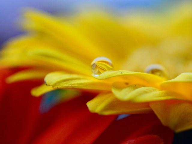 Extreme closeup, macro shot of yellow gerbera with water droplets