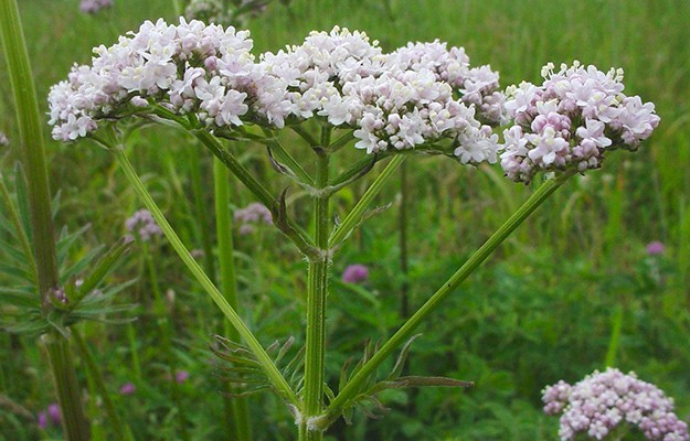 Valerian Root | The Top Ultimate Medicinal Herbs For Your Bug Out Bag