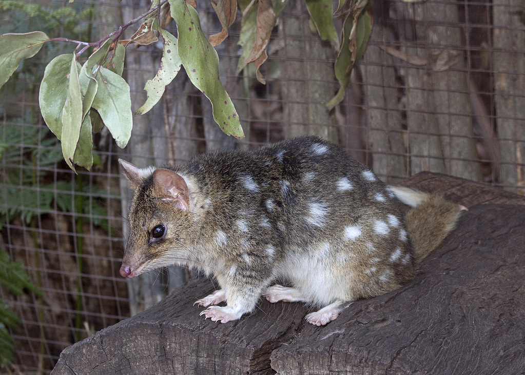 The purpose of this Wild Genomes project is to produce a high-quality reference genome for the endangered Eastern quoll