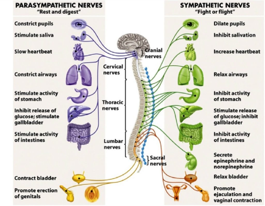 Improve Focus With The Body S Nervous System