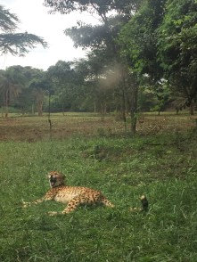 A yawning cheetah at the Safari Walk