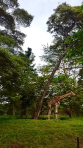 An adolescent giraffe at Nairobi National Park!
