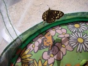 Speckled Wood Butterfly - wings open