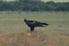 Wedge-Tail Eagle