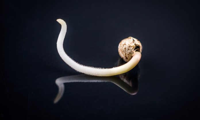 How To Germinate Cannabis Seeds: A Step-by-Step Guide