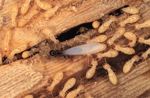 Termites Eating Wood Paint