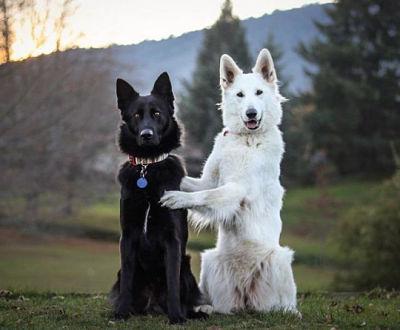 Весільні фото двох собак