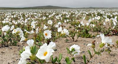 Цвітіння квітів у пустелі Атакама