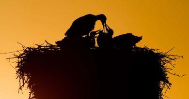 Лелека годує своїх пташенят у гнізді в Лаатзені