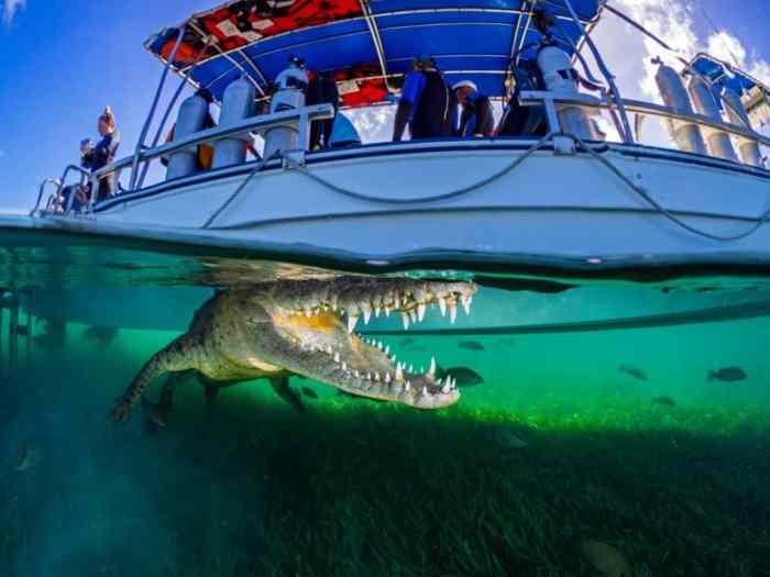 Крокодил на Карибах