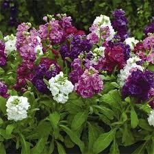 Садові квіти, матіола