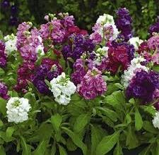 Квіти для вечірнього саду