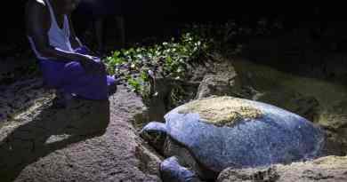 Гніздування хеленої чепахи