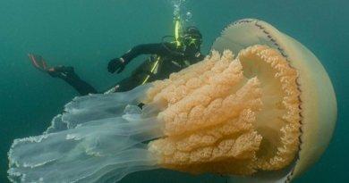 Бочкова медуза