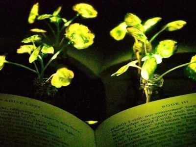У США навчилися перетворювати рослини на ...ліхтарі