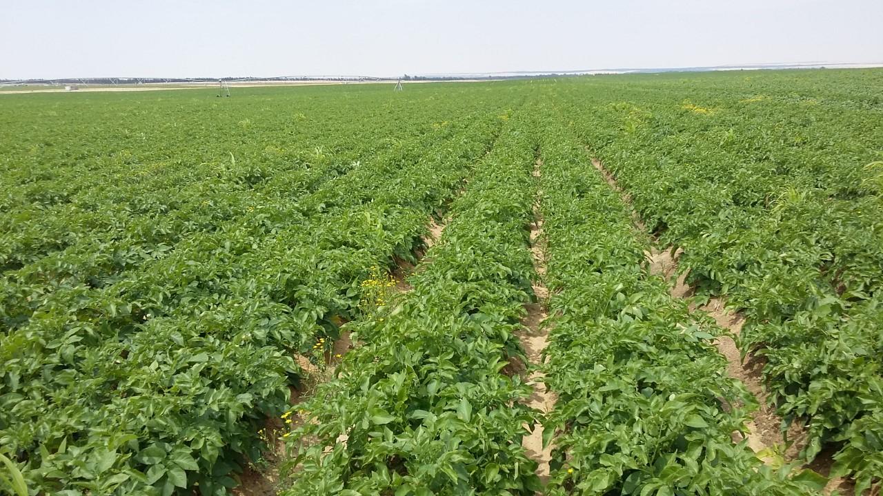 Aardappelveld Import israel