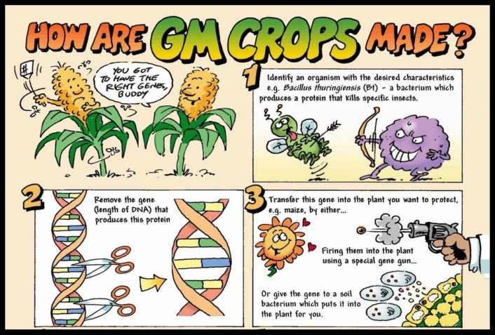 How are GM crops made?