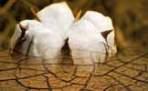 cotton harvest fails event